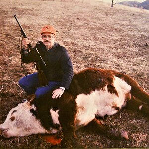Hereford Cow Hunt