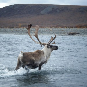 Caribou on the Anisak River