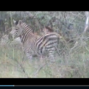 Bowhunting Zebra at Spiral Horn Safaris in SA