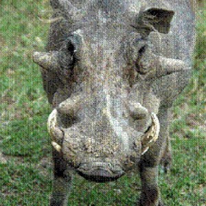 Common warthog Ph. africanus