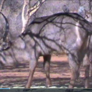 Bow Hunting Waterbuck