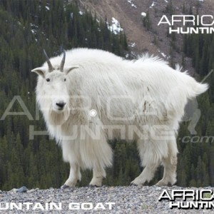 Hunting Vitals Mountain Goat
