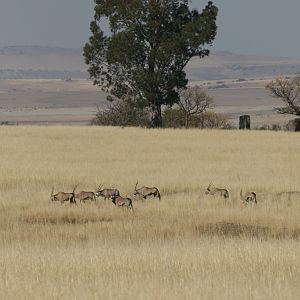 Gemsbok in the Highveld