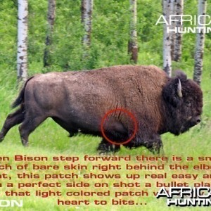 Hunting Bison Shot Placement