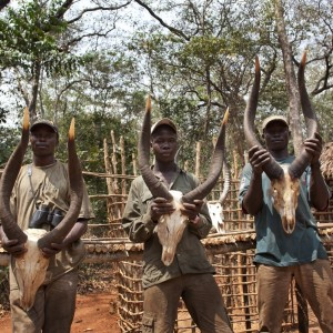 Three sets of Bongo horns