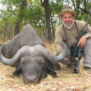 Buffalo hunted in Zambia