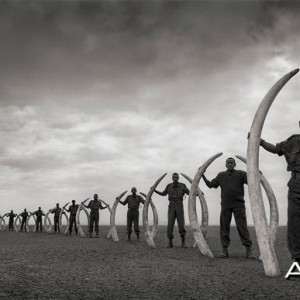 Line of Rangers with Tusks of Killed Elephants Amboseli 2011 by Nick Brandt