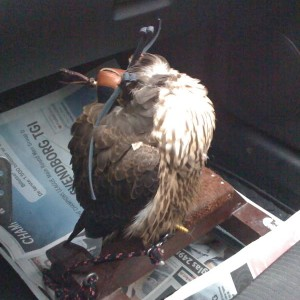 Falcon sleeping in the car after a good hunt