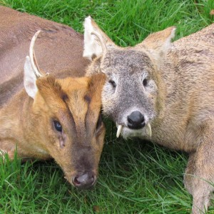 Chinese water deer and a fantastic Muntjac