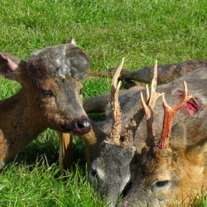 Hunting Roe Bucks in the UK