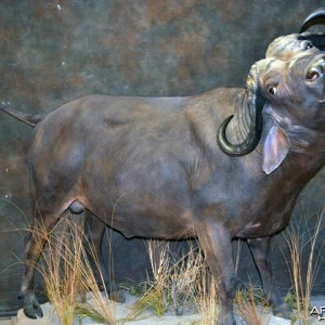 buffalo charge taxidermy mount