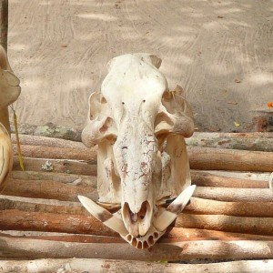 Skulls of Warthog, Red river hog and Giant forest hog