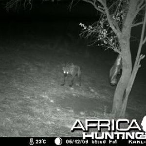 Hyena at the bait