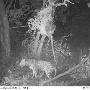 Leopard on bait Zimbabwe