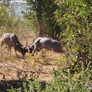Kudu fighting