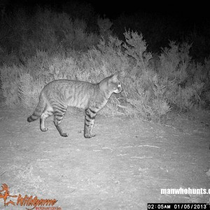 African Wildcat on trailcamera