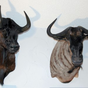 Black and Blue Wildebeest