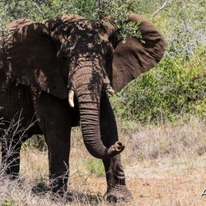 Elephant at Pongola Game Reserve