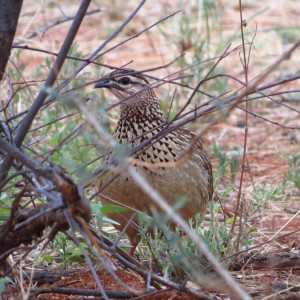Crested Francolin Namibia