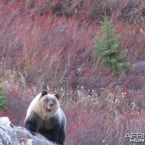 Selkirk Mountains Grizzly