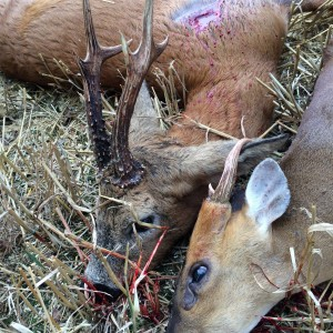 Roe buck and muntjac buck