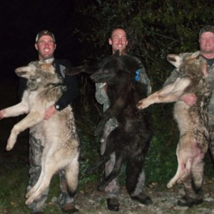 Wolf hunt in British Columbia Canada