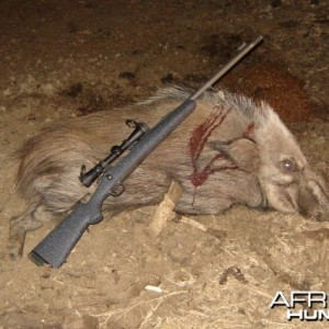 Bushpig Hunt in South Africa