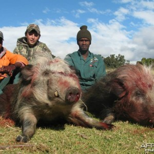 Bushpig with Hounds
