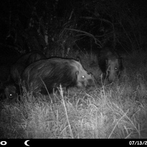 Baited bushpig in Mankazana Valley.