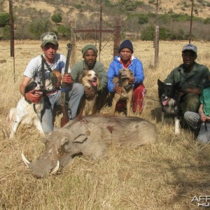 Rough hunting warthog with baying dogs - fast and furious action.