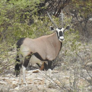 The magnificent Oryx or Gemsbok