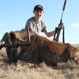 Noah's Cull Black Wildebeest at Huntershill Safaris