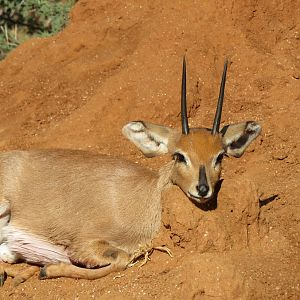 "5""+ Steenbok Hunt"
