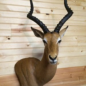 Impala Shoulder Mount Taxidermy