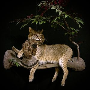 38lb Bobcat Full Mount Taxidermy