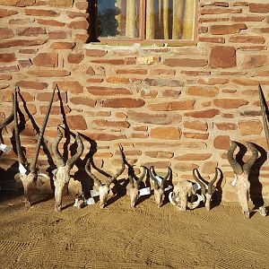 Hunting Trophies Namibia