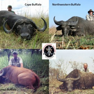 Four of the five species of buffaloes in Africa..