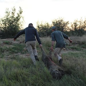 Hunting Warthog in South Africa