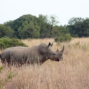 South Africa White Rhino