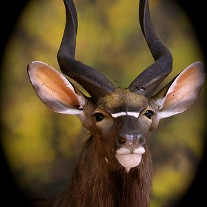 Nyala Taxidermy Shoulder Mount