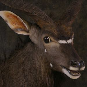 Taxidermy Nyala Shoulder Mount