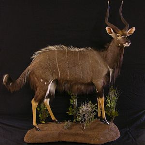 Full Mount Taxidermy Nyala