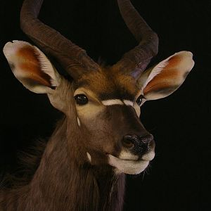 Nyala Full Mount Taxidermy