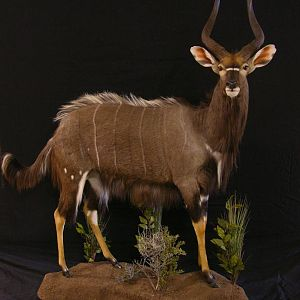 Taxidermy Full Mount Nyala