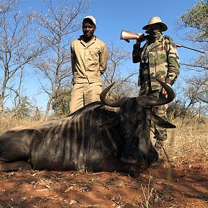 Blue Wildebeest Hunting in South Africa