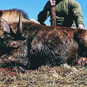 Cull Hunt South Africa Black Wildebeest