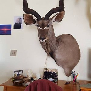Taxidermy Kudu Shoulder Mount
