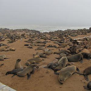 Namibia Cape Cross Seal Colony