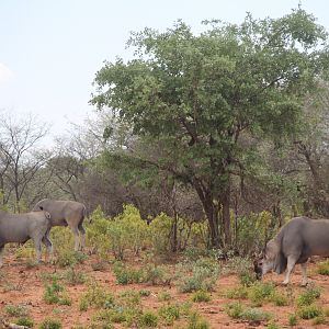 Eland Waterberg Plateau National Park in Namibia