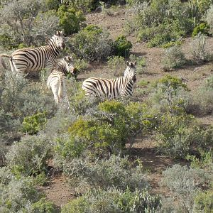 South Africa Burchell's Plain Zebra